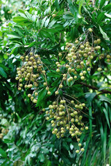 longan tropical fruits in growth on tree