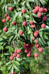 Tropical fruits  lychee in growth on tree