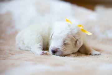 Portrait of one week old puppy breed maremmano abruzzese dog sleeping on the cow's fur.