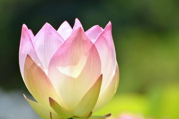 インド蓮の花