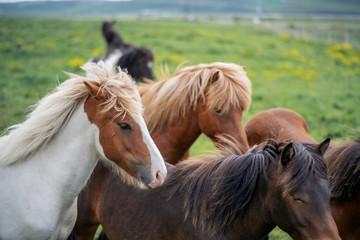Icelandic Horses in summer ,Iceland.