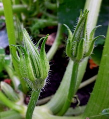 Zucchini blossom. Vegetable garden. Buds, stems, earth