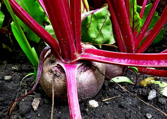 Red beet in the ground. Vegetable garden. Cultivated plants