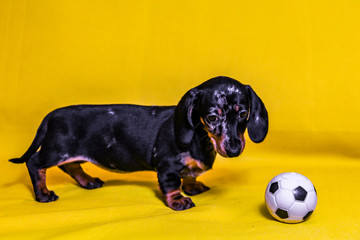 Puppy Dachshund on a yellow background
