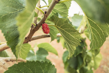 Mulberry tree. Red unripe berries on a branch