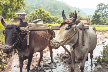 Wall Mural - Image of a bull and farmer working in paddy field