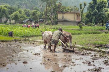 Indian farmer ploughing his fields using traditional wooden plough.