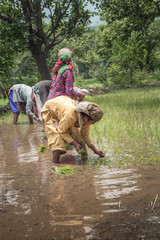 Indian Woman farmer planting rice seedlings in the rice paddy field.