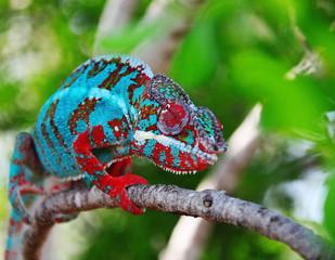 Foto op Aluminium Kameleon chamaeleon furcifer pardalis