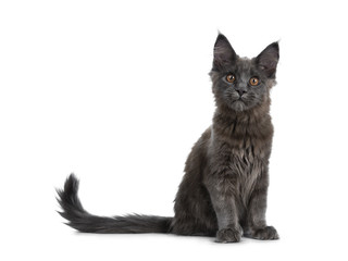 Very cute solid blue Maine Coon cat kitten sitting up with tail beside body, looking curious at camera isolated on white background