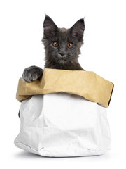 Very cute solid blue Maine Coon cat kitten sitting in paper bag with paw on the edge and looking straight in camera, isolated on white background
