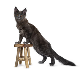 Very cute solid blue Maine Coon cat kitten standing side ways with front paws on little wooden stool, looking at camera isolated on white background