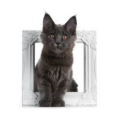 Very cute solid blue Maine Coon cat kitten sitting through a white picture frame, looking at camera isolated on white background