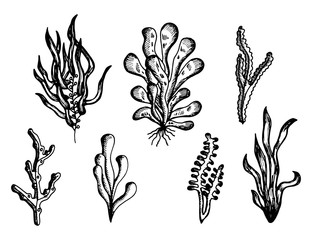 algae drawing handmade monochrome vector. isolated on white background