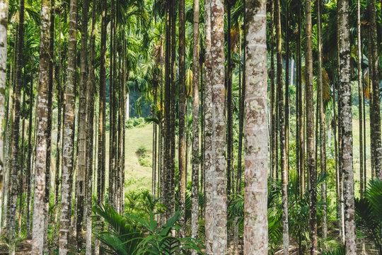 Betel palm in resort in thailand.