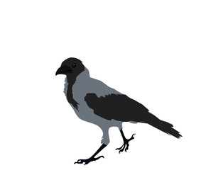 Gray crow on white background, flat design, vector eps 10