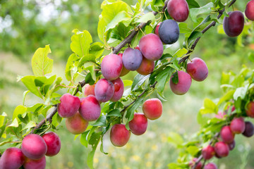Colorful ripe lilac plum and green garden