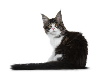 Beautiful black brown tabby with white Maine Coon cat kitten backwards with tail next to body, looking over shoulder straight in lens isolated on white background