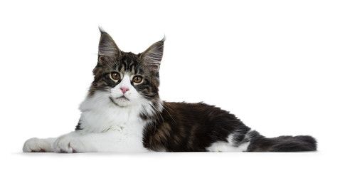 Beautiful black brown tabby with white Maine Coon cat kitten laying side ways, looking straight in lens isolated on white background
