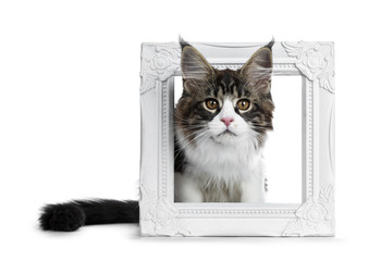Beautiful black brown tabby with white Maine Coon cat kitten, sitting with head through a white picture frame, looking straight at lens isolated on white background