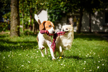 Beagle dog and spitz klein small running and playing together in garden. Summer sunny day outdoor.