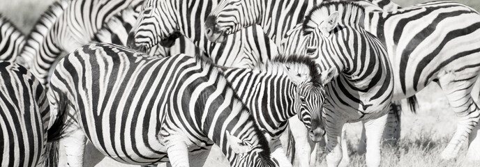 In de dag Zebra Zebra herd oblong