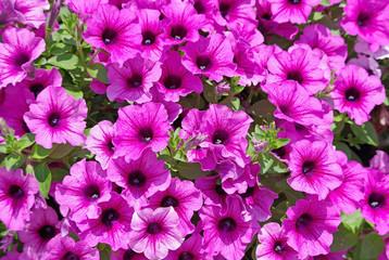 Petunia flowers in the garden