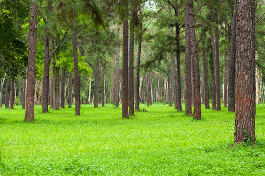 Pine trees, tall green trunks,Beautiful Pine trees and green grass for nature background