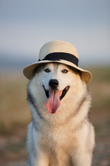 Lovely cheerful happy gray brown-eyed Siberian husky makes faces in a hat against the backdrop of nature and sky. Hazel-eyed dog wearing a hat on a natural background. Smiling dog