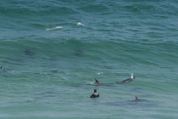 Dolphins surround a surfer
