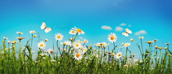 Wall Mural - Chamomiles daisies macro in summer spring field on background blue sky with sunshine and a flying white butterfly, close-up macro. Summer landscape, natura with copy space, panoramic view.