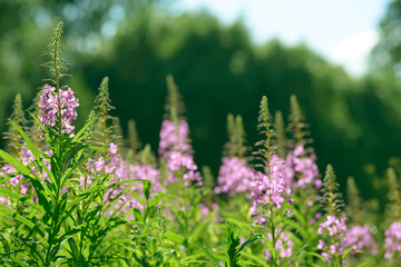 Pink flowers of fireweed (Epilobium or Chamerion angustifolium) in bloom ivan tea. Flowering willow-herb or blooming sally