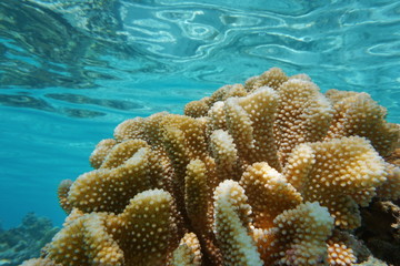 Close up of Pocillopora coral underwater, commonly called cauliflower coral, Pacific ocean, Polynesia, American Samoa