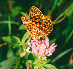 butterfly mother of pearl (Argynnis paphia) on clover flower close-up