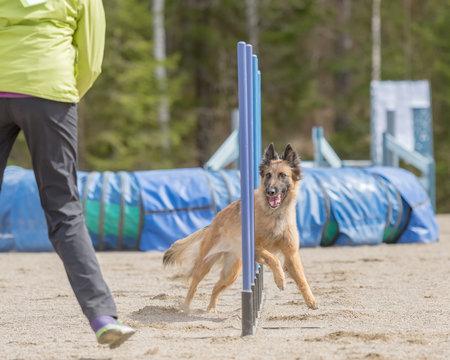 Belgian Shepherd Tervuren doing slalom on dog agility course