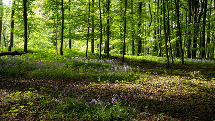 Bluebell carpet under forest in the Cotswolds England