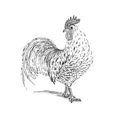 Cock sketch. Hand drawn vector illustration.
