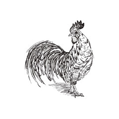 Cock sketch. Hand drawn vector illustration.