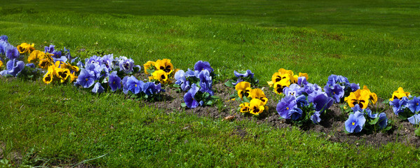 Horizontal background with pansies