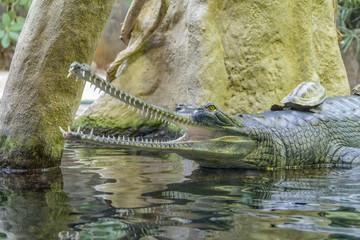 Poster Crocodile Gharial portrait