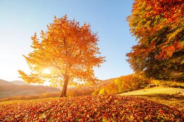 Wall Mural - Shiny beech tree on a hill slope with sunny beams. Location Carpathians, Ukraine, Europe.