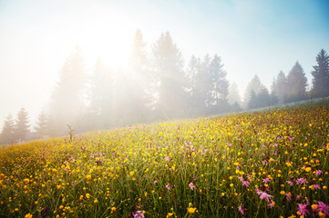 Blooming grazing land in the morning light.
