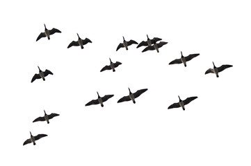 Migrating barnacle geese (Branta leucopsis) isolated on white background.