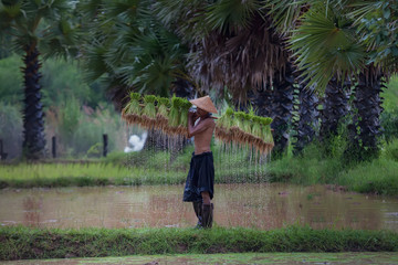 Farmer are planting rice in the rainy season