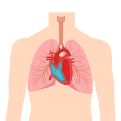 Heart and lungs. Internal organs in a male human body. Anatomy of people.Part of the human heart. Anatomy. Diastole and systole.Filling and pumping of Human Heart structure anatomy anatomical diagram