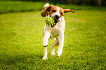Beagle dog pet run and fun outdoor. Dog i garden in summer s