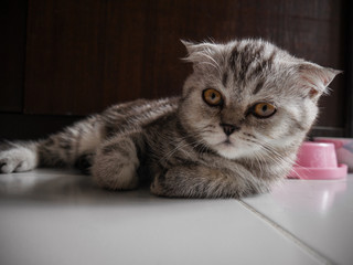 Scottish fold cat fur gray.