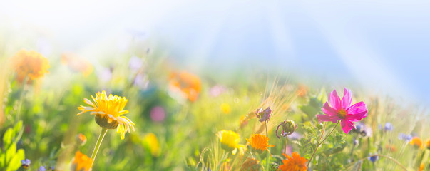 Fototapeta Bunte Wiese mit Wildblumen -  Sommer  -  Banner  -  Panorama obraz