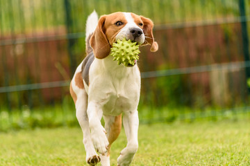 Beagle dog pet run and fun outdoor. Dog i garden in summer sunny day with ball having fun