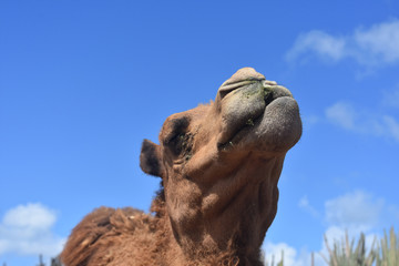 Lovely Look at the Face of a Camel